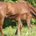 Chestnut mare grazes with nursing foal