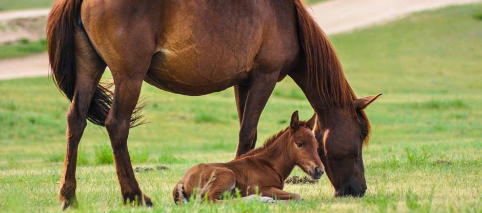 Mare grazing while foal naps